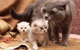 Сколько котят рожает кошка в первый раз, сколько их носит, как узнать, скольку будет потомства, почему рождается один котенок?