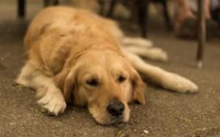 Дисплазия суставов у собак: лечение, симптомы патологии тазобедренных, локтевого сустава