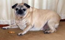 Ожирение у собак: симптомы, лечение, последствия без вмешательства, диета и корм