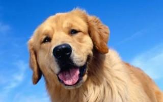 Затяжная течка у собаки: причины, симптомы, что делать и лечение