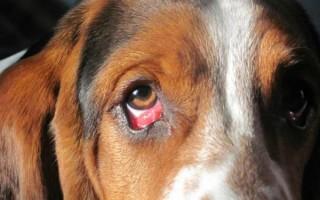 Травма глаза у собаки: причины, лечение, собака после повреждения роговицы