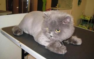 Как подстричь кота в домашних условиях: побрить самому, подстричь ножницами или машинкой, чему лучше это сделать и что будет после