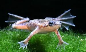 Шпорцевая (Африканская когтистая) лягушка
