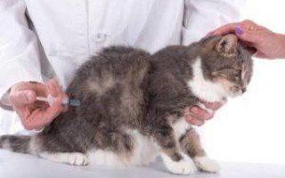 Пневмония у кошек: симптомы воспаления легких, как лечить аспирационную форму у кота, препараты для других видов