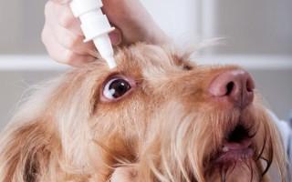 Конъюнктивит у собак и кошек: симптомы и лечение