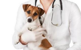 Лечение печени у собак: что давать при циррозе, фиброзе, увеличении, воспалении, отказе органа, раке, диета, чем восстановить