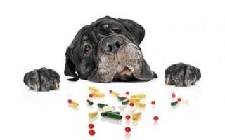 Отравление крысиным ядом у собак: определяем симптомы, первая помощь, антидот, лечение