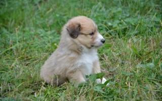 Почечная недостаточность у собак: симптомы, острая и хроническая, лечение, прогноз