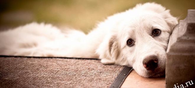 Инфекционный гепатит у собак: симптомы и лечение