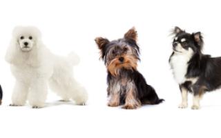 Сердечная недостаточность у собак: симптомы — кашель, асцит, острая и хроническая сердечно-легочная недостаточности, лечение и препараты