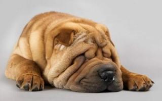 Лихорадка у собак: причины, симптомы, геморрагическая с почечным синдромом, болеют ли мышиной лихорадкой