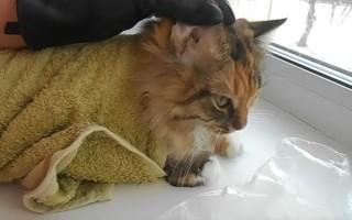 Как лечить у кошки ушной клещ: что это, от куда берется, чем опасен, как выглядит, как и чем обработать место поражения, как избавиться от чесоточного клеща, эффективные препараты — капли, мазь, спрей