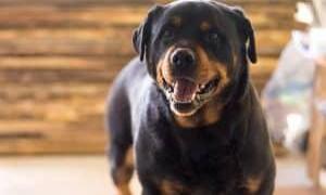 Миокардит у собаки: симптомы, лечение