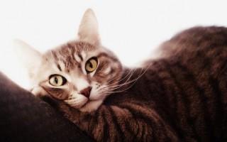 Лечение мастита у кошек: симптомы, почему появился после отнятия, у нерожавшей кошки, после стерилизации, запущенный и гнойный мастит, лечение в домашних условиях
