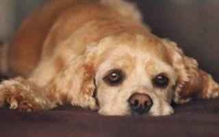 Холецистит у собак: симптомы, острый и хронический, схема лечения, чем кормить и какую диету соблюдать