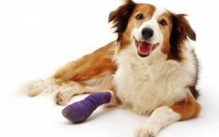 Переломы ребер у собак: причины, типы, симптомы, лечение