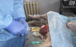 Выпадение матки у собаки: причины у нерожавших сук, во время течки, лечение