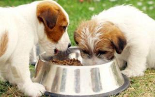 Нормы кормления щенков, режим для крупных и мелких пород, немецкой овчарки, сухой и натуральный корм, суточная норма