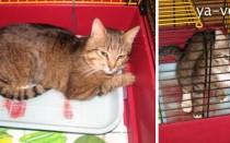 У кота моча с кровью: что делать, если обнаружена моча с кровью, чем лечить, почему кот писает кровью?