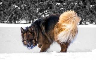 Несахарный диабет у собак: причины, симптомы, лимфоузлы при нефрологическом, анализы и диагностика, лечение