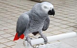 Питание попугаев жако