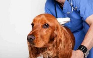 Гастрит у собак: симптомы, виды — острый, хронический, гиперацидный, уремический, питание и корм при обострении, лечение