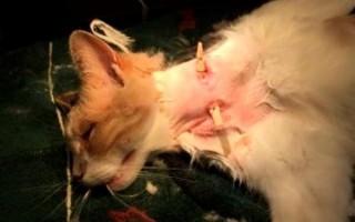 Абсцесс у кошки параанальных желез, хвоста, лапы, на щеке, после укола: лечение антибиотиками, вскрытие в домашних условия