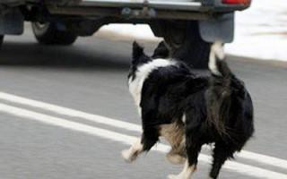 Как отучить собаку бегать за машинами, кидаться и лаять на них, поняв причину, почему они это делают