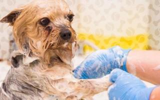 Облысение у собаки (спины, хвоста): причины, лечение