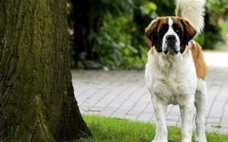 Остеохондроз у собак: причины поражения позвоночника, признаки рассекающего остеохондроза плечевого сустава, препараты, лечение в домашних условиях