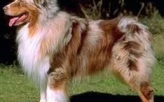 Ишемия у собак: причины поражения миокарда, лечение