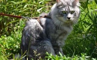 Как одеть шлейку на кошку или кота, как правильно выбрать поводок для прогулки, что такое шлейка