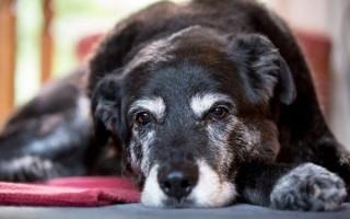 Недержание мочи у собак: основные причины после стерилизации, кастрации, нейрогенной, во время течки, во сне, после травмы, лекарства
