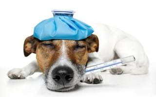 Менингит у собак: симптомы, лечение, прививка как профилактика