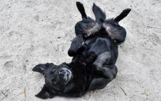Кератит у собак: что это, симптомы, сколько длится, как проходит лечение и восстановление, чем опасен запор