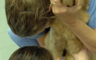 Какие прививки делают собакам, нужно ли их делать, первые по возрасту, взрослым, как часто, комплексная прививка и осложнения после