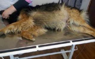 Асцит у собаки: причины, симптомы, лечение в домашних условиях при сердечном перикардите, техника выполнения лапароцентеза брюшной полости, прогноз