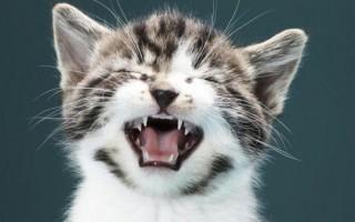 Кальцивироз у кошек: симптомы и лечение, чем лечить у котят в домашних условиях, признаки у кота