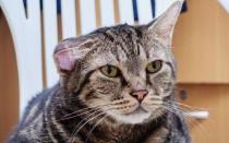 У кошки на ушах бугорки: чем лечить, что делать, если это подкожный клещ, что еще это может быть?