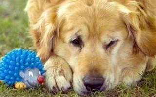 Злокачественная опухоль у собаки: варианты — на веке, лице, острая внутри, мягкая, параанальных желез