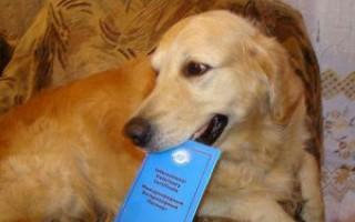 Парацетамол собаке: сколько дать при температуре, дозировка, смертельная доза жаропонижающего, что делать, если съела