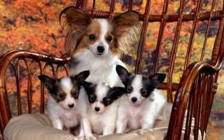 Время течки у собаки: сколько будут идти выделения, кровь, боли, аппетит, недержание, запах, температура, прививки