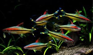 Рыбки — Барбусы