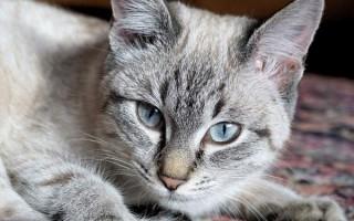 Цирроз у кошек: симптомы поражения печени, лечение, прогноз у кота, можно ли вылечить фиброз, асцит, цирроз