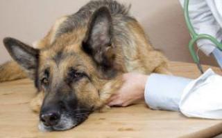 Рвота у собаки: что делать, как помочь взрослому животному и щенку в зависимости от симптомов