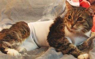 Киста у кошек (молочных желез, яичника, почек, фолликулярная, кожи, на животе): симптомы, лечение, удаление, причины появления у стерилизованной кошки