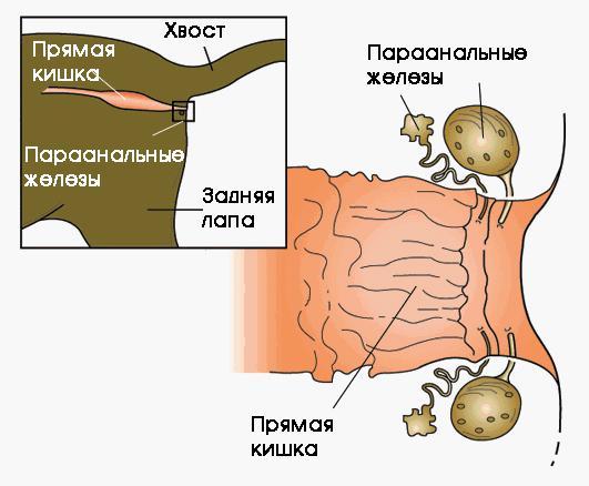 Параанальные железы
