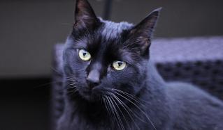 Абсцесс у кошек: причины появления, лечение в домашних условиях