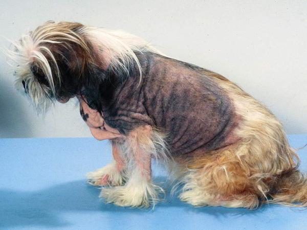 Пищевая аллергия и ее роль при атопическом дерматите у собак