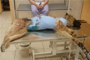 Откачивание жидкости при асците у собаки
